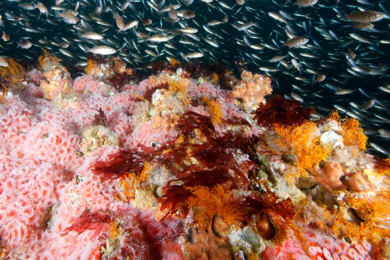 Rockfish Coral NOAA McFall