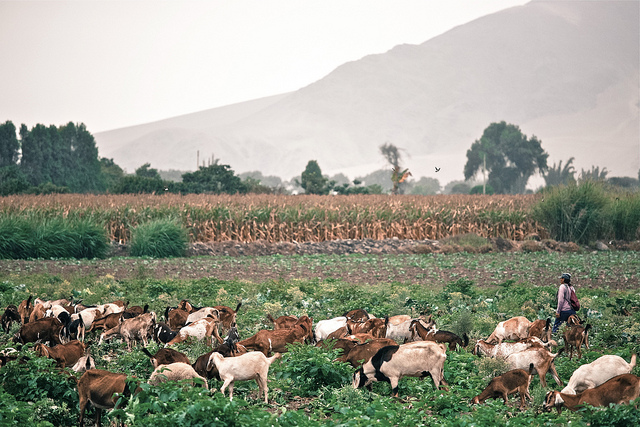 Goats in Peru by Alex Proimos