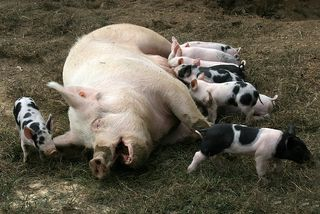 Mamma pig and pigletts